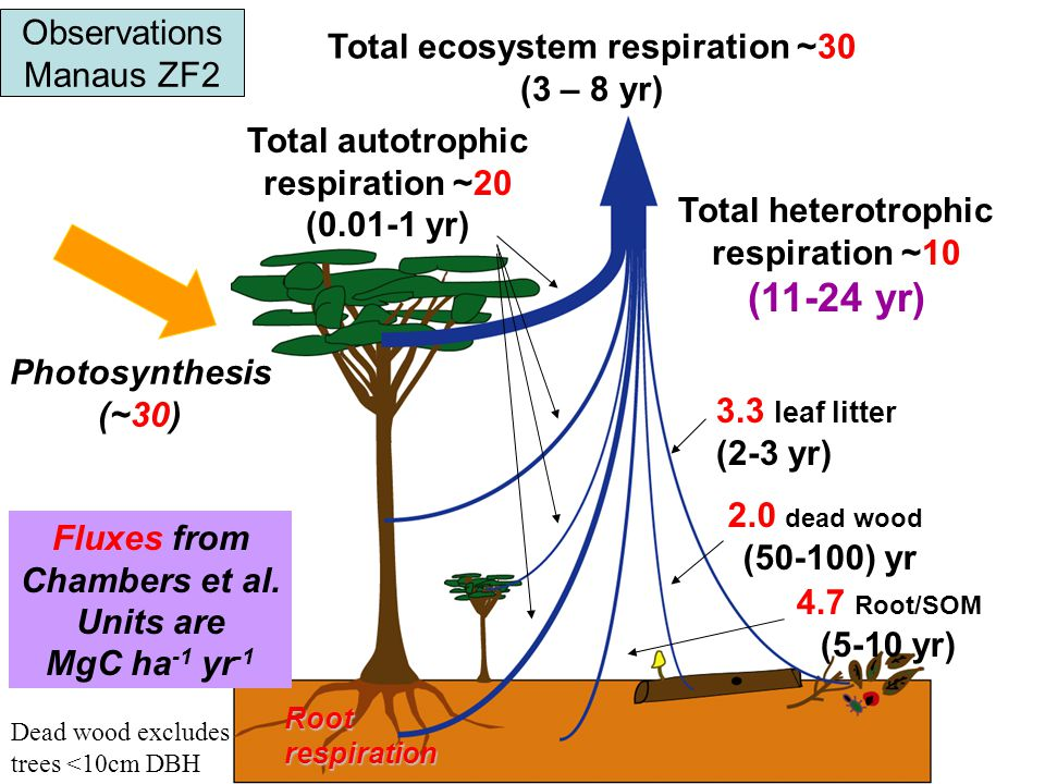 2.0 dead wood (50-100) yr Total heterotrophic respiration ~10 (11-24 yr) Total autotrophic respiration ~20 (0.01-1 yr) Total ecosystem respiration ~30 (3 – 8 yr) 3.3 leaf litter (2-3 yr) 4.7 Root/SOM (5-10 yr) Photosynthesis (~30) Rootrespiration Fluxes from Chambers et al.