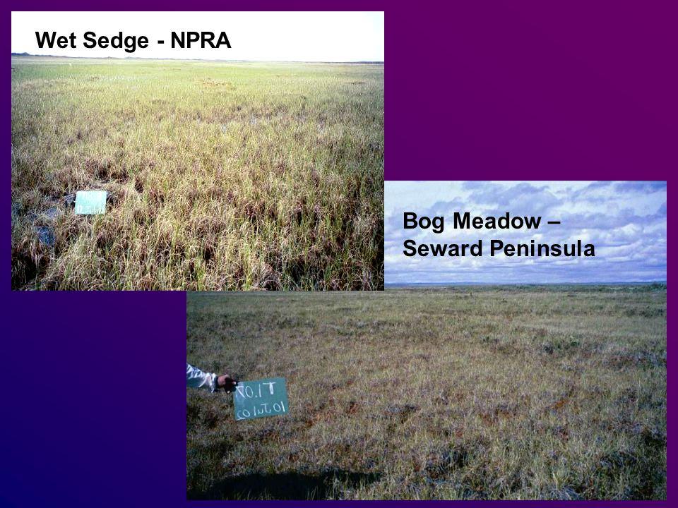 Wet Sedge - NPRA Bog Meadow – Seward Peninsula