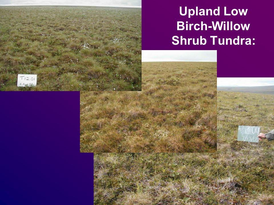 Upland Low Birch-Willow Shrub Tundra:
