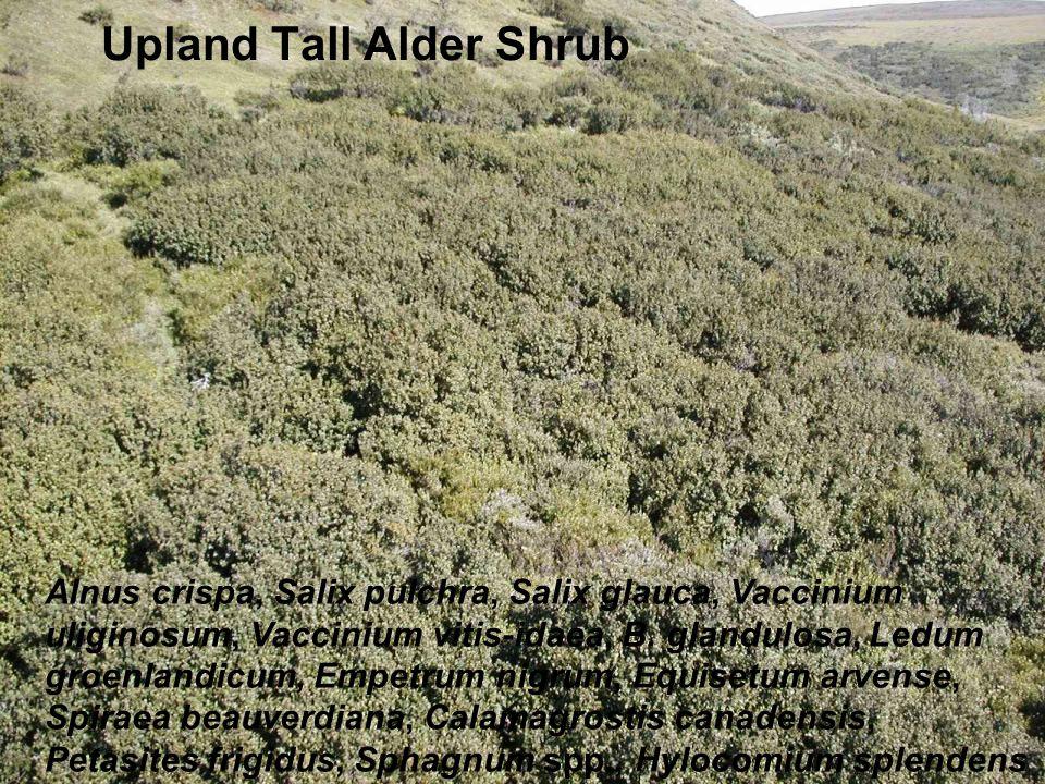 Upland Tall Alder Shrub Alnus crispa, Salix pulchra, Salix glauca, Vaccinium uliginosum, Vaccinium vitis-idaea, B.
