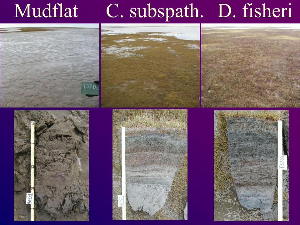 MudflatC. subspath.D. fisheri