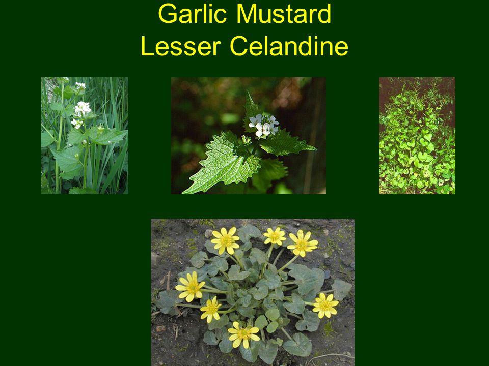 Garlic Mustard Lesser Celandine