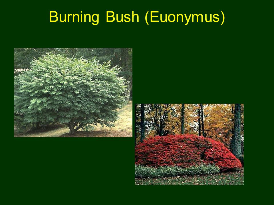Burning Bush (Euonymus)