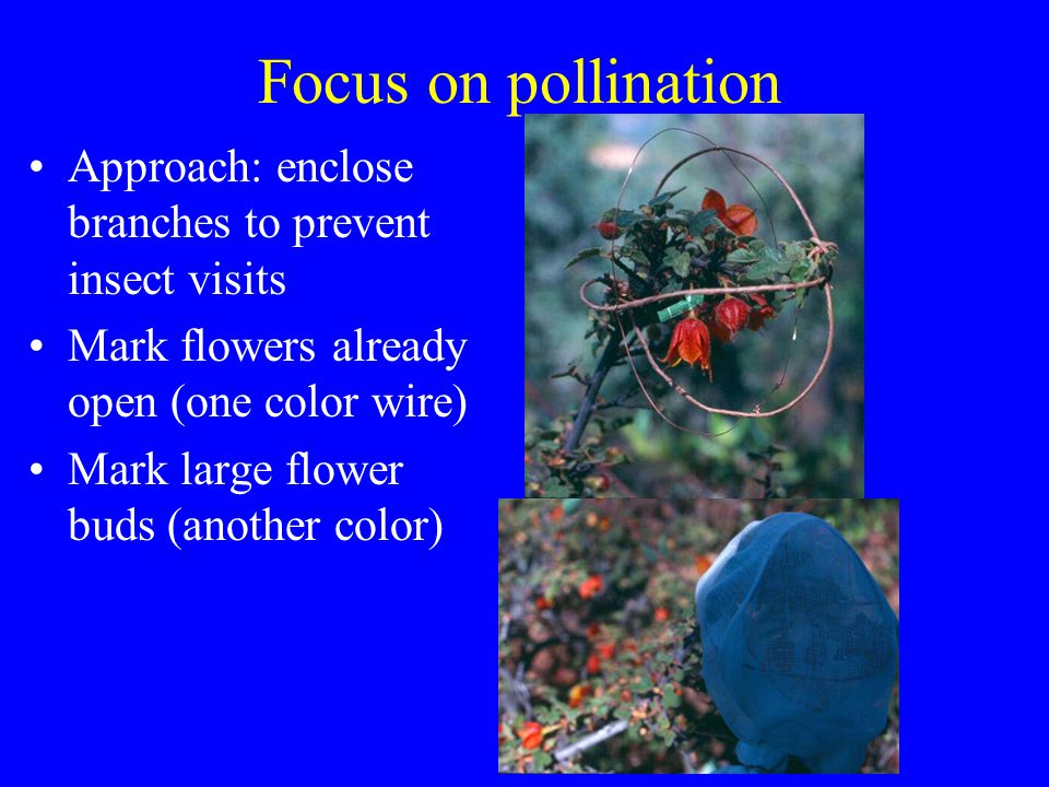 Focus on pollination Approach: enclose branches to prevent insect visits Mark flowers already open (one color wire) Mark large flower buds (another color)