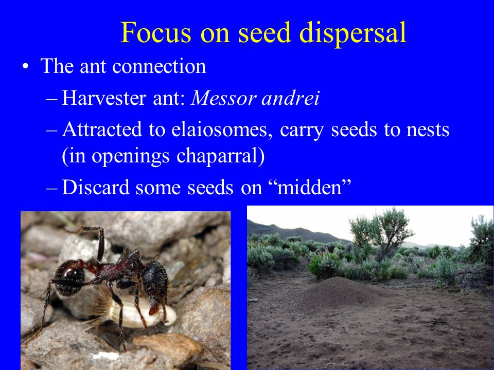 Focus on seed dispersal The ant connection –Harvester ant: Messor andrei –Attracted to elaiosomes, carry seeds to nests (in openings chaparral) –Discard some seeds on midden