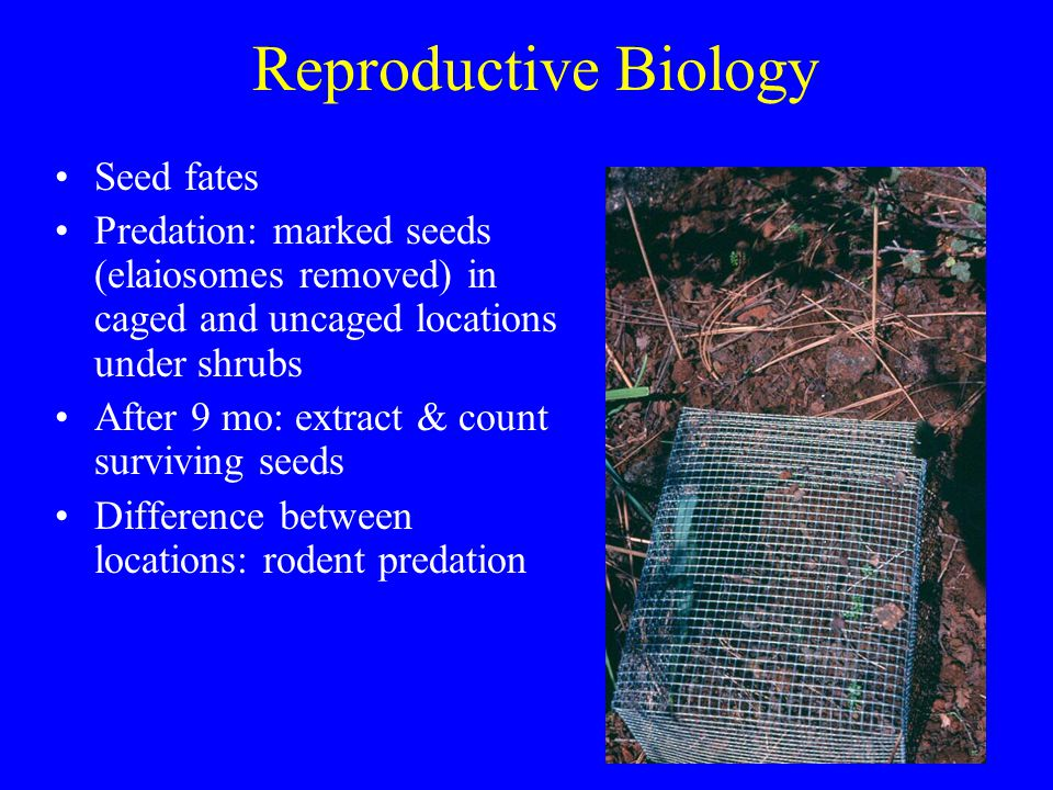 Reproductive Biology Seed fates Predation: marked seeds (elaiosomes removed) in caged and uncaged locations under shrubs After 9 mo: extract & count surviving seeds Difference between locations: rodent predation