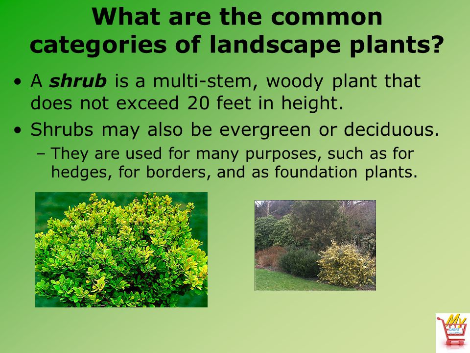 What are the common categories of landscape plants? A shrub is a multi-stem, woody plant that does not exceed 20 feet in height. Shrubs may also be ev