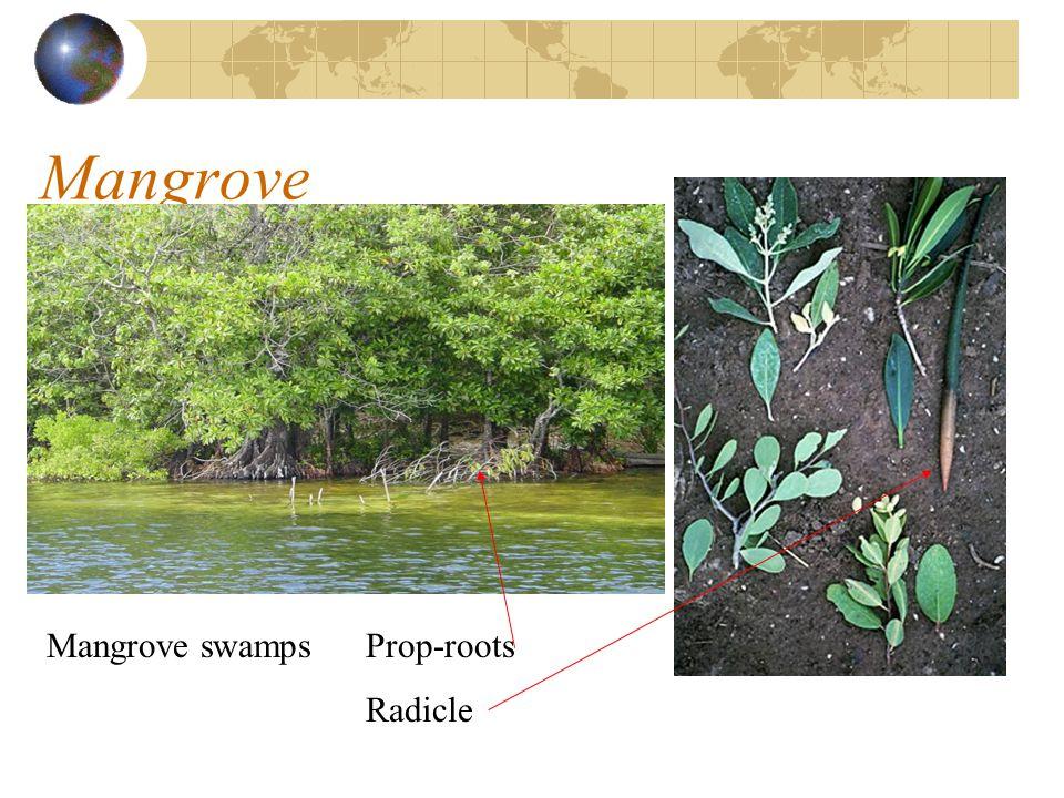 Mangrove Mangrove swampsProp-roots Radicle