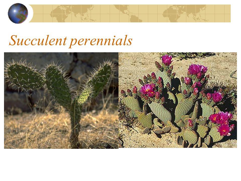 Succulent perennials