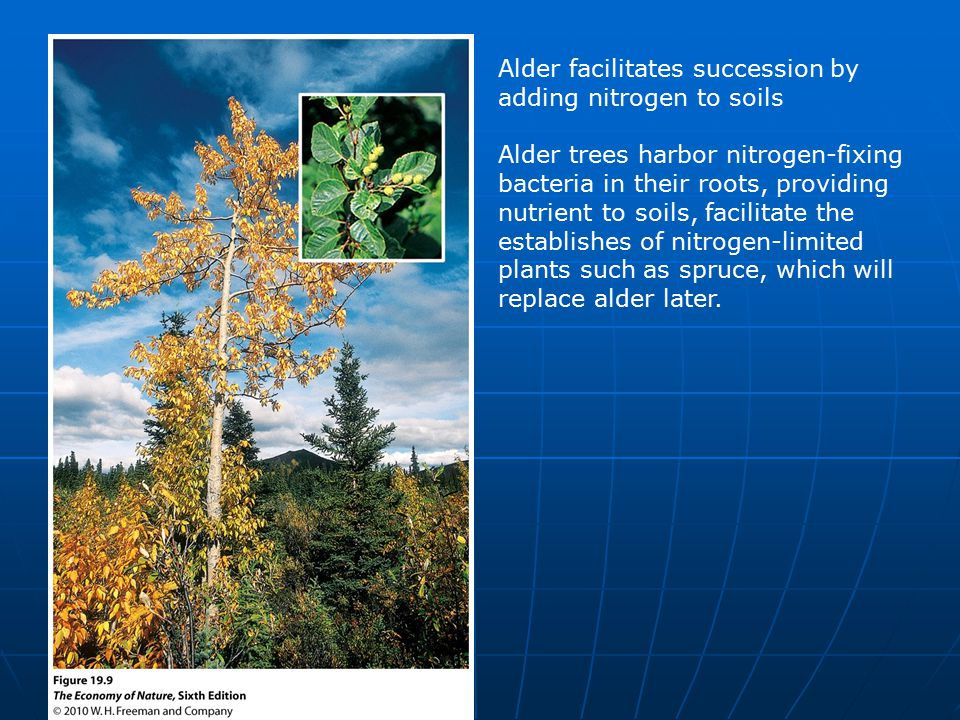 Alder facilitates succession by adding nitrogen to soils Alder trees harbor nitrogen-fixing bacteria in their roots, providing nutrient to soils, facilitate the establishes of nitrogen-limited plants such as spruce, which will replace alder later.