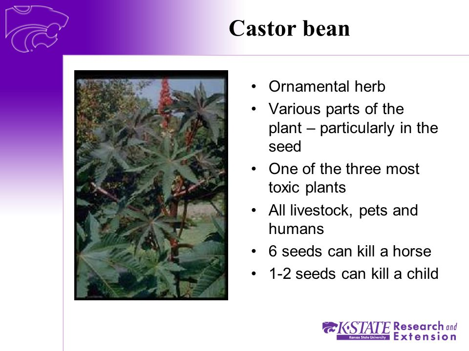 Castor bean Ornamental herb Various parts of the plant – particularly in the seed One of the three most toxic plants All livestock, pets and humans 6 seeds can kill a horse 1-2 seeds can kill a child