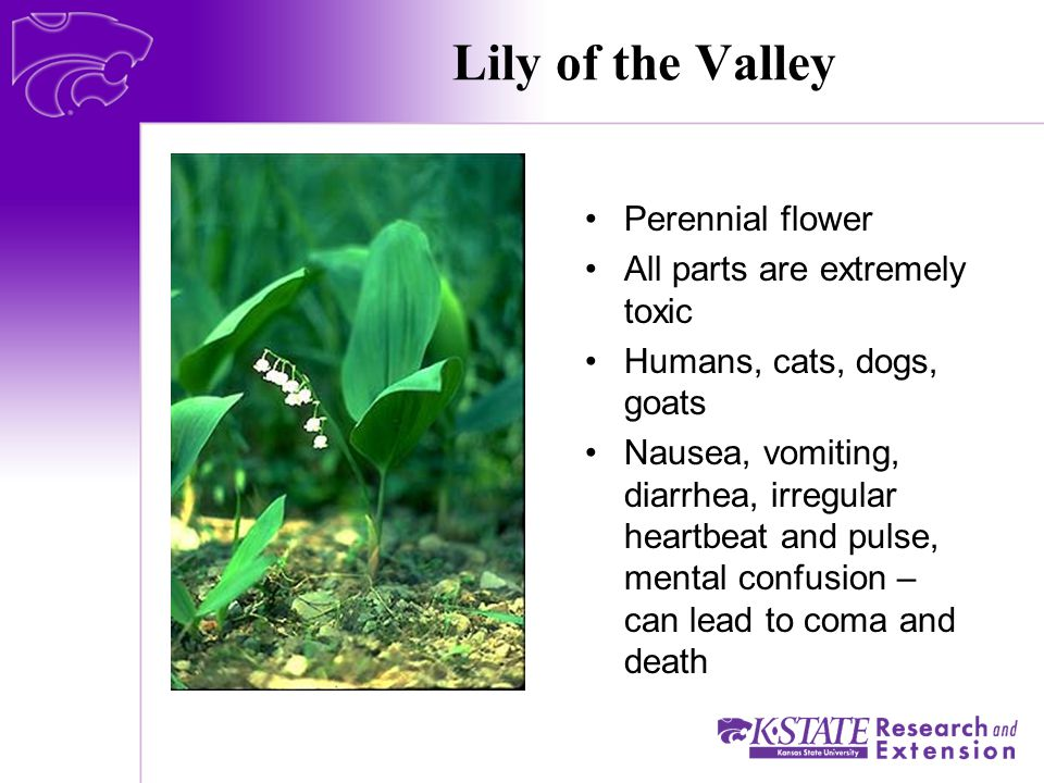 Lily of the Valley Perennial flower All parts are extremely toxic Humans, cats, dogs, goats Nausea, vomiting, diarrhea, irregular heartbeat and pulse, mental confusion – can lead to coma and death