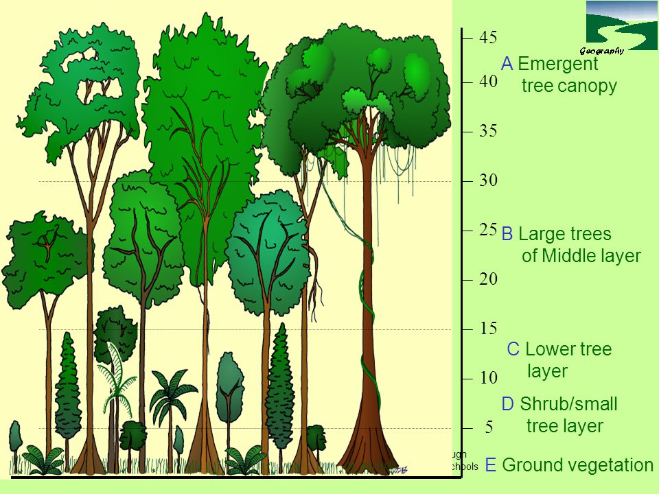 Tom Abbott, Biddulph High School and made available through www.sln.org.uk/geography and only for non commercial use in schools A Emergent tree canopy B Large trees of Middle layer C Lower tree layer D Shrub/small tree layer E Ground vegetation 5 10 15 20 25 30 35 40 45