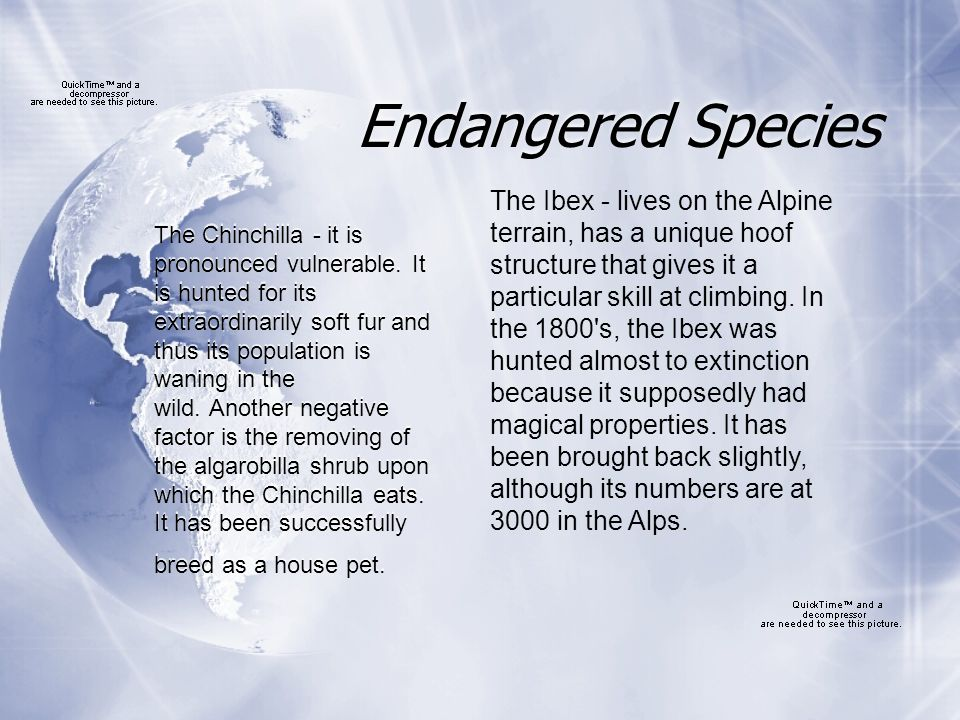 Endangered Species The Chinchilla - it is pronounced vulnerable.