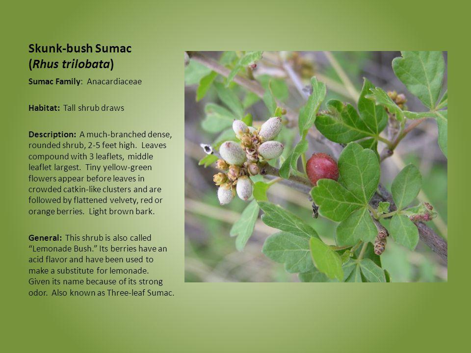 Skunk-bush Sumac (Rhus trilobata) Sumac Family: Anacardiaceae Habitat: Tall shrub draws Description: A much-branched dense, rounded shrub, 2-5 feet hi