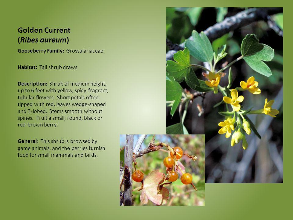 Golden Current (Ribes aureum) Gooseberry Family: Grossulariaceae Habitat: Tall shrub draws Description: Shrub of medium height, up to 6 feet with yell