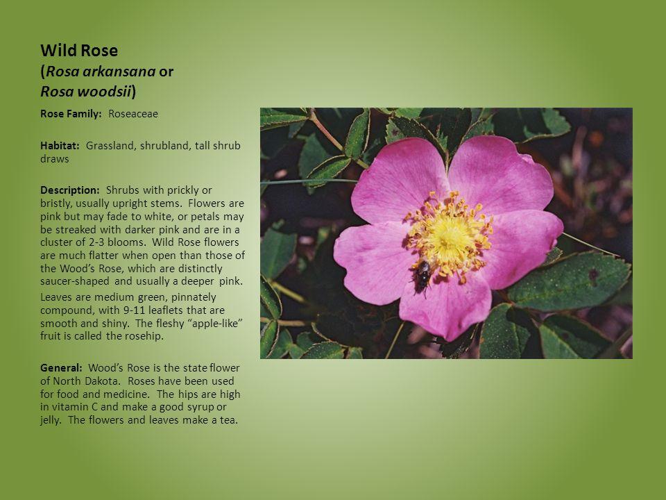 Wild Rose (Rosa arkansana or Rosa woodsii) Rose Family: Roseaceae Habitat: Grassland, shrubland, tall shrub draws Description: Shrubs with prickly or