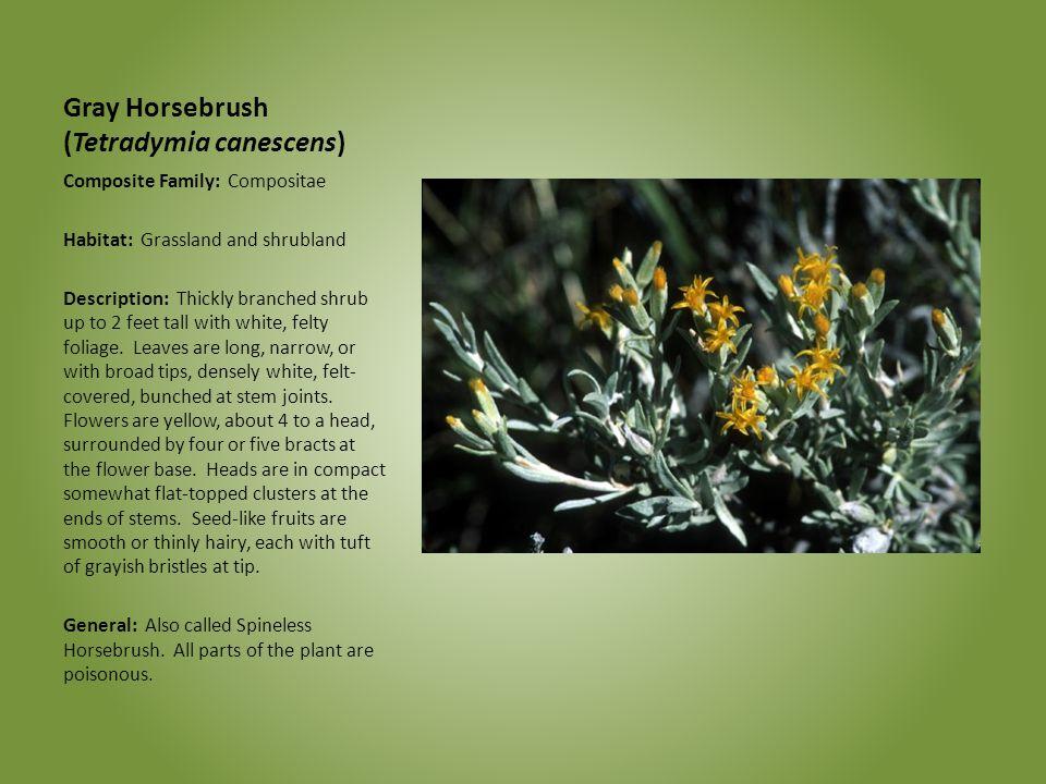 Gray Horsebrush (Tetradymia canescens) Composite Family: Compositae Habitat: Grassland and shrubland Description: Thickly branched shrub up to 2 feet