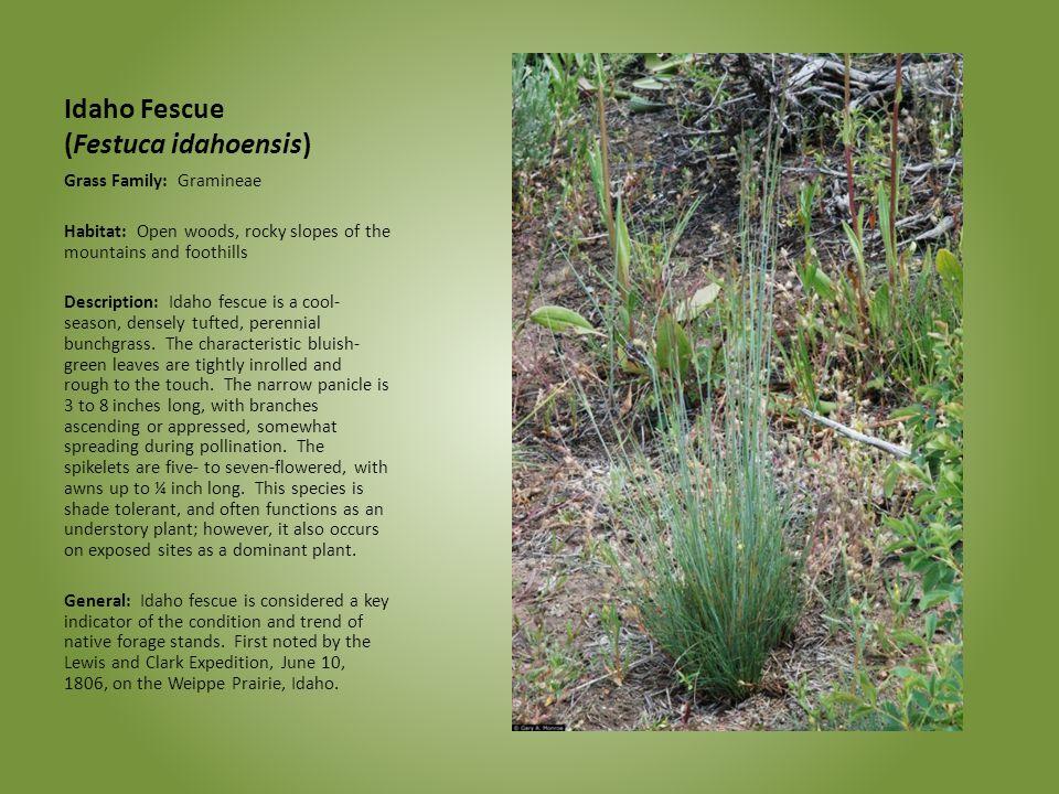 Idaho Fescue (Festuca idahoensis) Grass Family: Gramineae Habitat: Open woods, rocky slopes of the mountains and foothills Description: Idaho fescue i