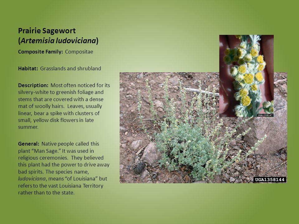 Prairie Sagewort (Artemisia ludoviciana) Composite Family: Compositae Habitat: Grasslands and shrubland Description: Most often noticed for its silver