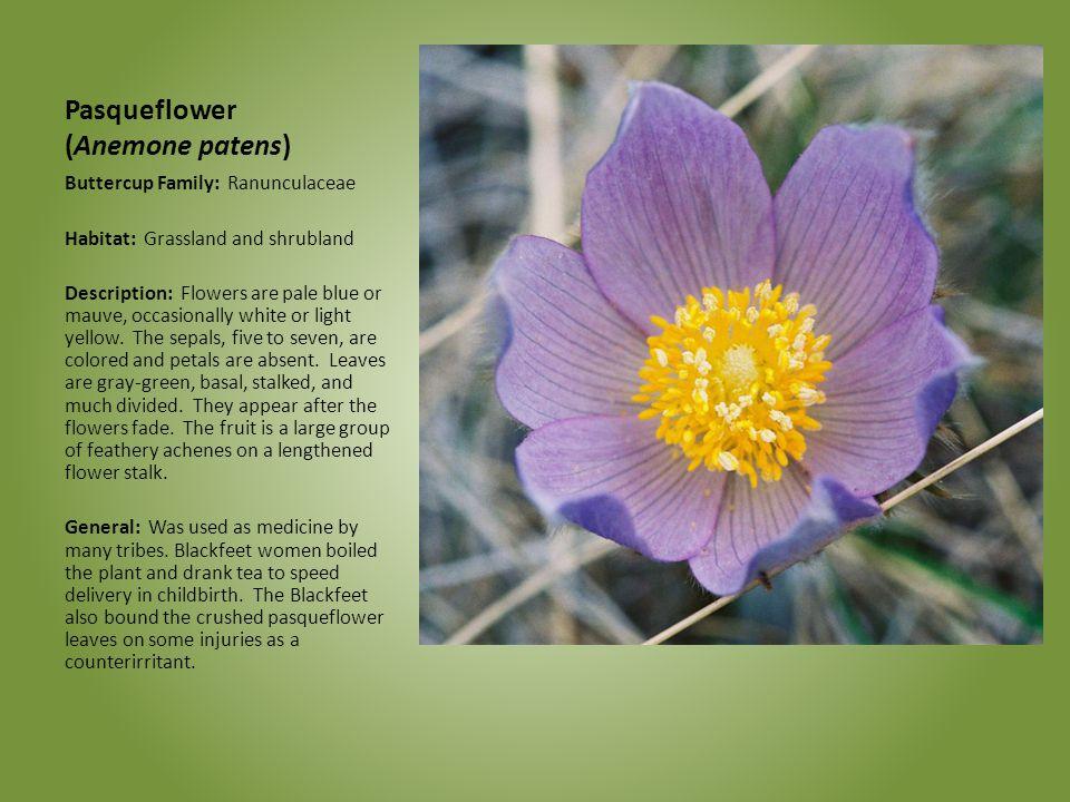 Pasqueflower (Anemone patens) Buttercup Family: Ranunculaceae Habitat: Grassland and shrubland Description: Flowers are pale blue or mauve, occasional