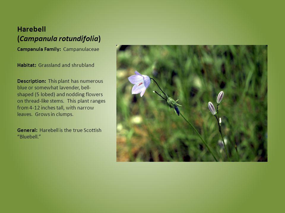 Harebell (Campanula rotundifolia) Campanula Family: Campanulaceae Habitat: Grassland and shrubland Description: This plant has numerous blue or somewh