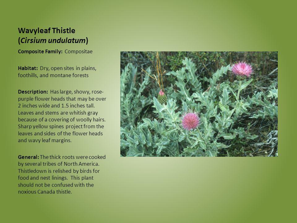 Wavyleaf Thistle (Cirsium undulatum) Composite Family: Compositae Habitat: Dry, open sites in plains, foothills, and montane forests Description: Has