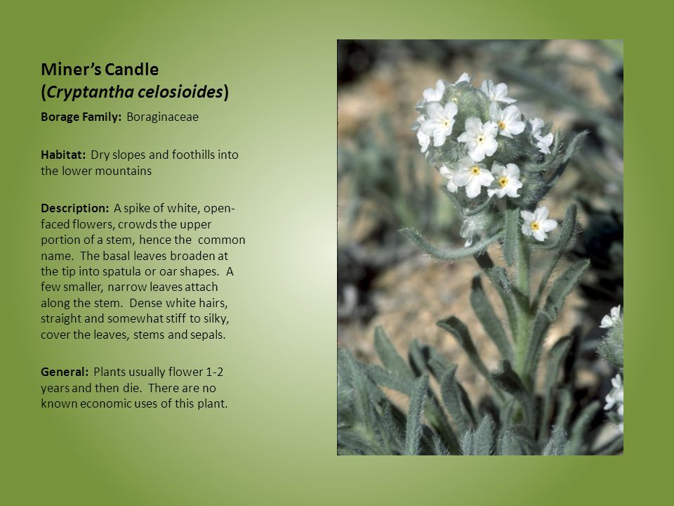 Miner's Candle (Cryptantha celosioides) Borage Family: Boraginaceae Habitat: Dry slopes and foothills into the lower mountains Description: A spike of