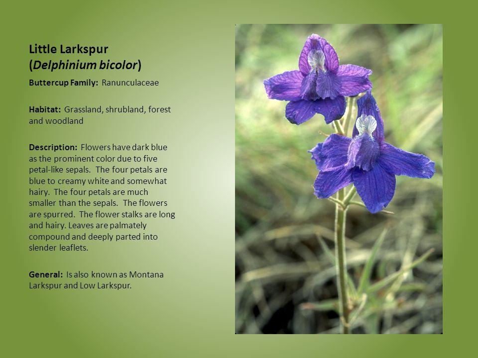 Little Larkspur (Delphinium bicolor) Buttercup Family: Ranunculaceae Habitat: Grassland, shrubland, forest and woodland Description: Flowers have dark