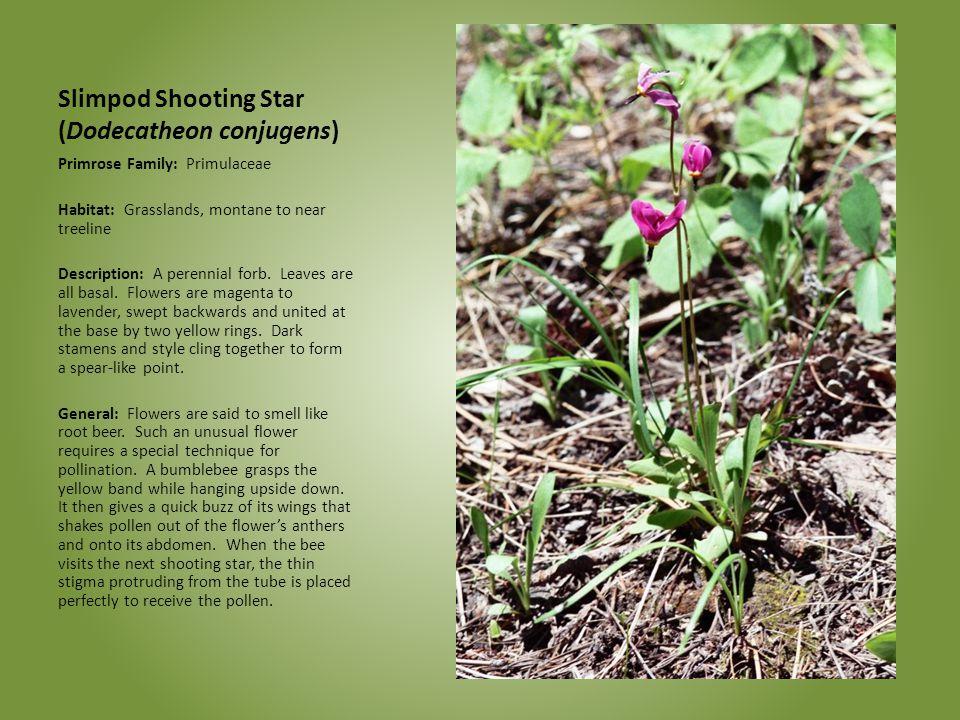 Slimpod Shooting Star (Dodecatheon conjugens) Primrose Family: Primulaceae Habitat: Grasslands, montane to near treeline Description: A perennial forb