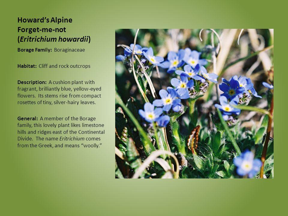 Howard's Alpine Forget-me-not (Eritrichium howardii) Borage Family: Boraginaceae Habitat: Cliff and rock outcrops Description: A cushion plant with fr