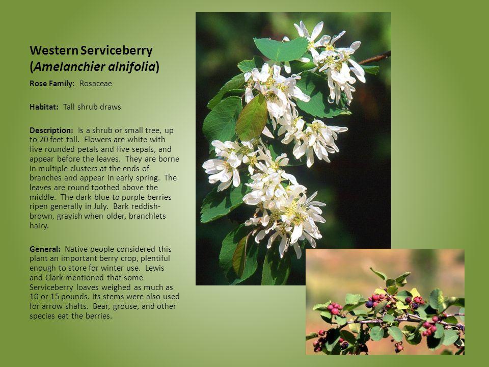 Western Serviceberry (Amelanchier alnifolia) Rose Family: Rosaceae Habitat: Tall shrub draws Description: Is a shrub or small tree, up to 20 feet tall