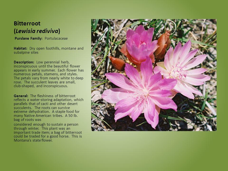 Bitterroot (Lewisia rediviva) Purslane Family: Portulacaceae Habitat: Dry open foothills, montane and subalpine sites Description: Low perennial herb,