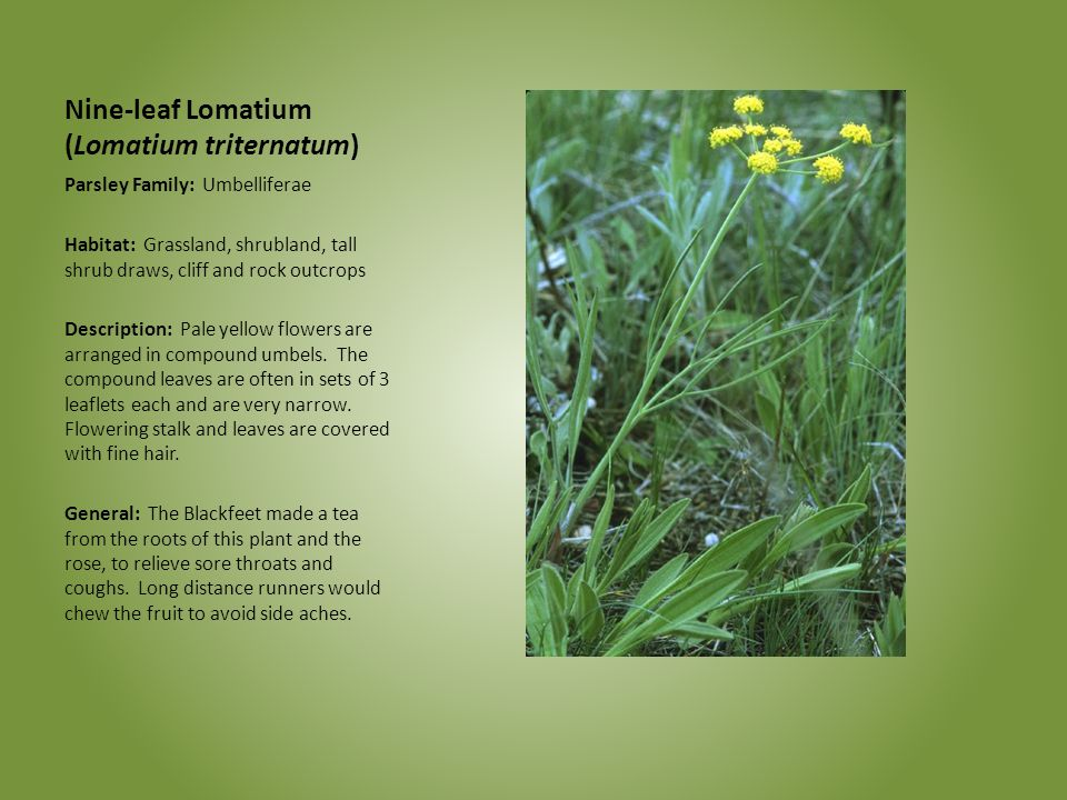 Nine-leaf Lomatium (Lomatium triternatum) Parsley Family: Umbelliferae Habitat: Grassland, shrubland, tall shrub draws, cliff and rock outcrops Descri