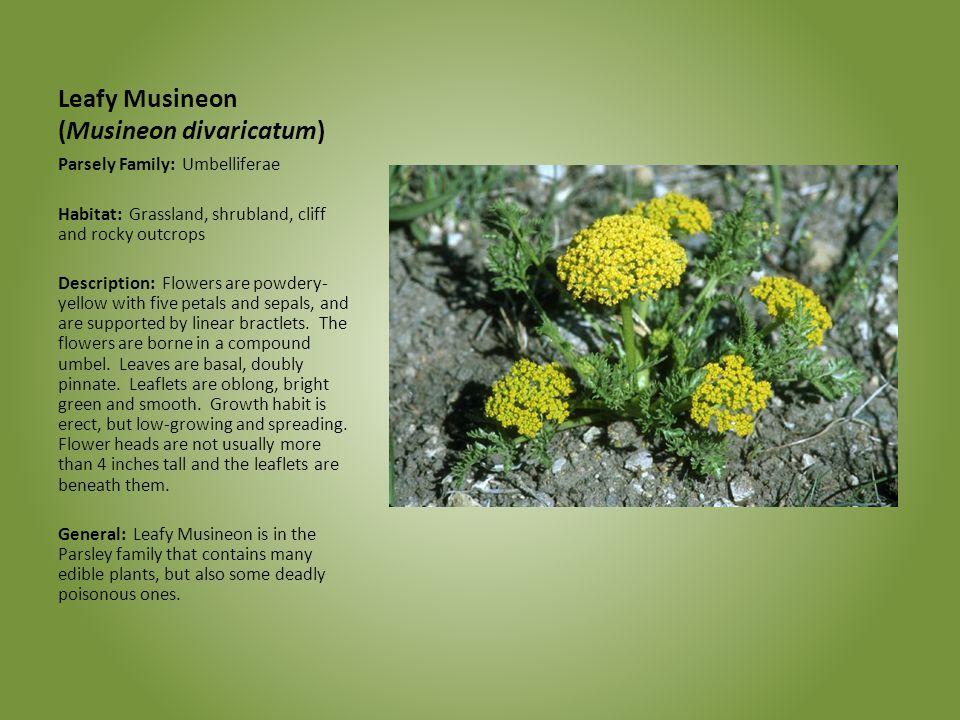 Leafy Musineon (Musineon divaricatum) Parsely Family: Umbelliferae Habitat: Grassland, shrubland, cliff and rocky outcrops Description: Flowers are po