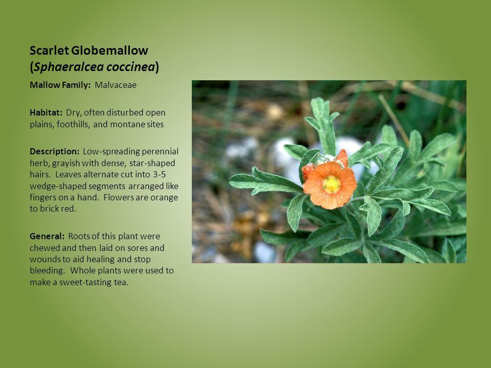 Scarlet Globemallow (Sphaeralcea coccinea) Mallow Family: Malvaceae Habitat: Dry, often disturbed open plains, foothills, and montane sites Descriptio