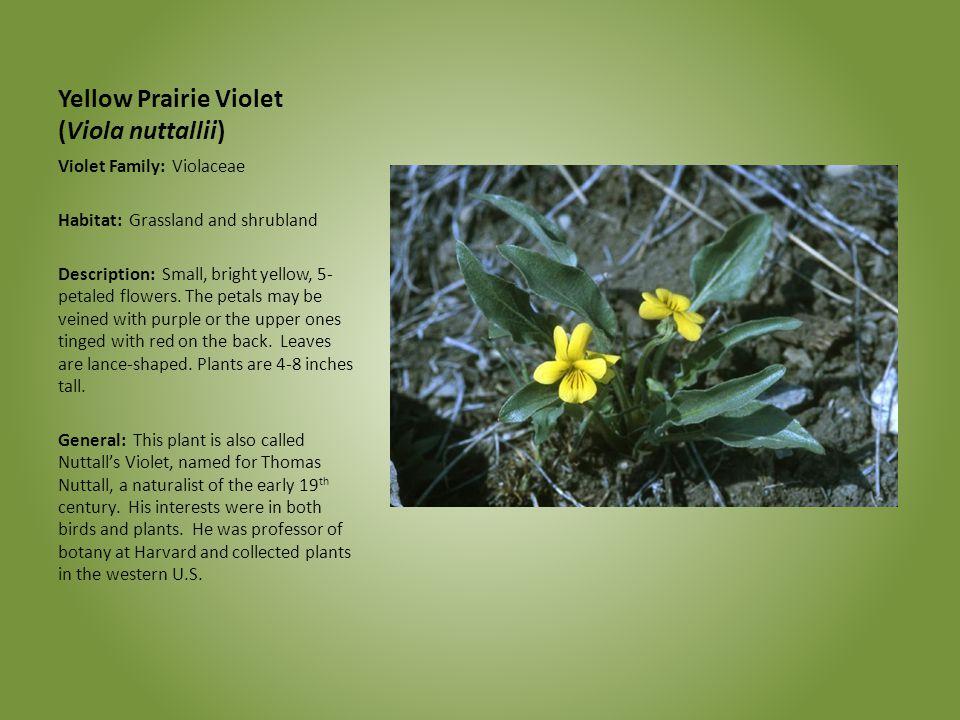 Yellow Prairie Violet (Viola nuttallii) Violet Family: Violaceae Habitat: Grassland and shrubland Description: Small, bright yellow, 5- petaled flower
