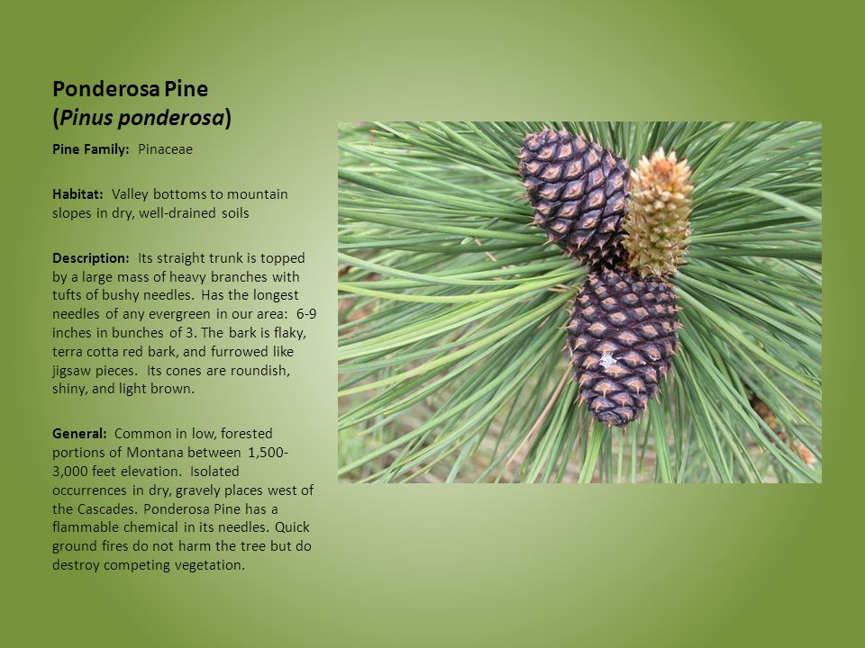 Ponderosa Pine (Pinus ponderosa) Pine Family: Pinaceae Habitat: Valley bottoms to mountain slopes in dry, well-drained soils Description: Its straight