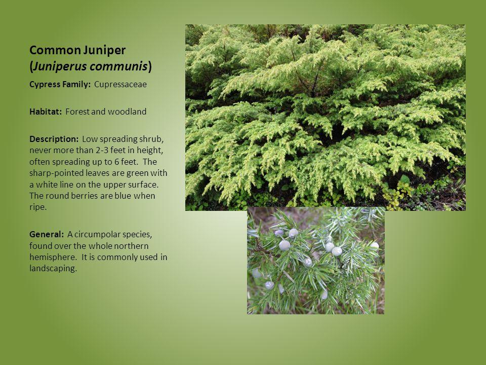 Common Juniper (Juniperus communis) Cypress Family: Cupressaceae Habitat: Forest and woodland Description: Low spreading shrub, never more than 2-3 fe