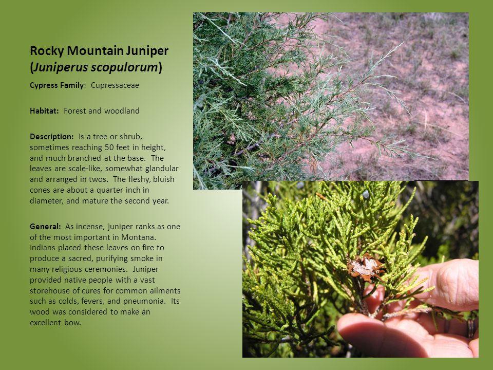 Rocky Mountain Juniper (Juniperus scopulorum) Cypress Family: Cupressaceae Habitat: Forest and woodland Description: Is a tree or shrub, sometimes rea