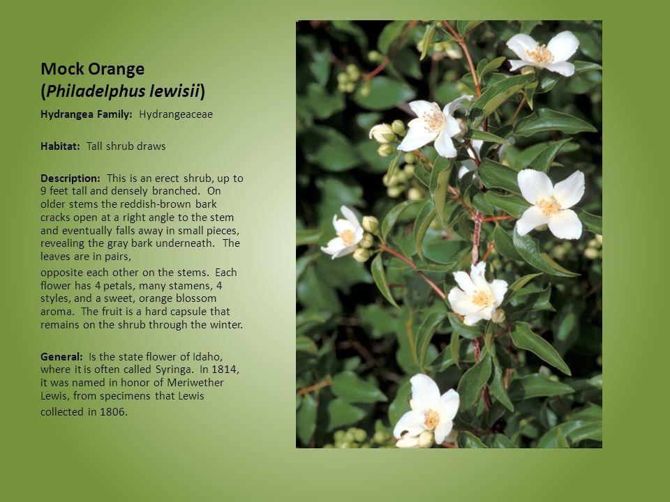 Mock Orange (Philadelphus lewisii) Hydrangea Family: Hydrangeaceae Habitat: Tall shrub draws Description: This is an erect shrub, up to 9 feet tall an