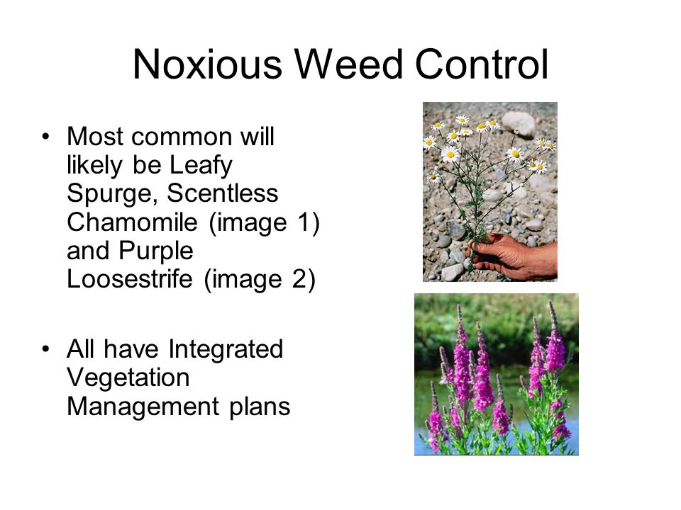 Noxious Weed Control Most common will likely be Leafy Spurge, Scentless Chamomile (image 1) and Purple Loosestrife (image 2) All have Integrated Vegetation Management plans