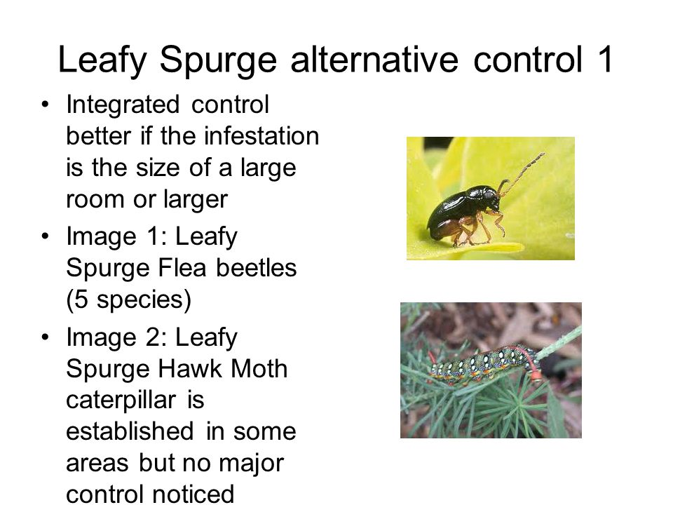 Leafy Spurge alternative control 1 Integrated control better if the infestation is the size of a large room or larger Image 1: Leafy Spurge Flea beetles (5 species) Image 2: Leafy Spurge Hawk Moth caterpillar is established in some areas but no major control noticed