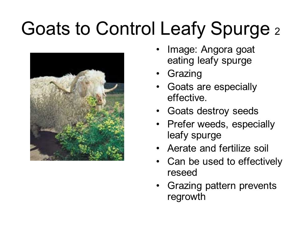 Goats to Control Leafy Spurge 2 Image: Angora goat eating leafy spurge Grazing Goats are especially effective. Goats destroy seeds Prefer weeds, espec