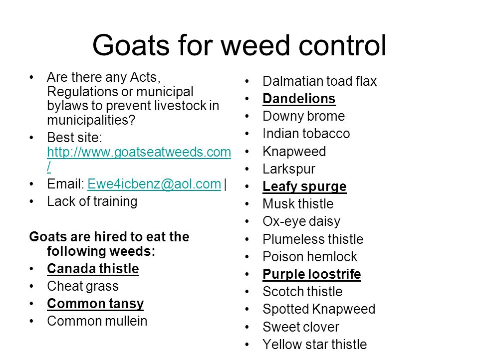 Goats for weed control Are there any Acts, Regulations or municipal bylaws to prevent livestock in municipalities? Best site: http://www.goatseatweeds