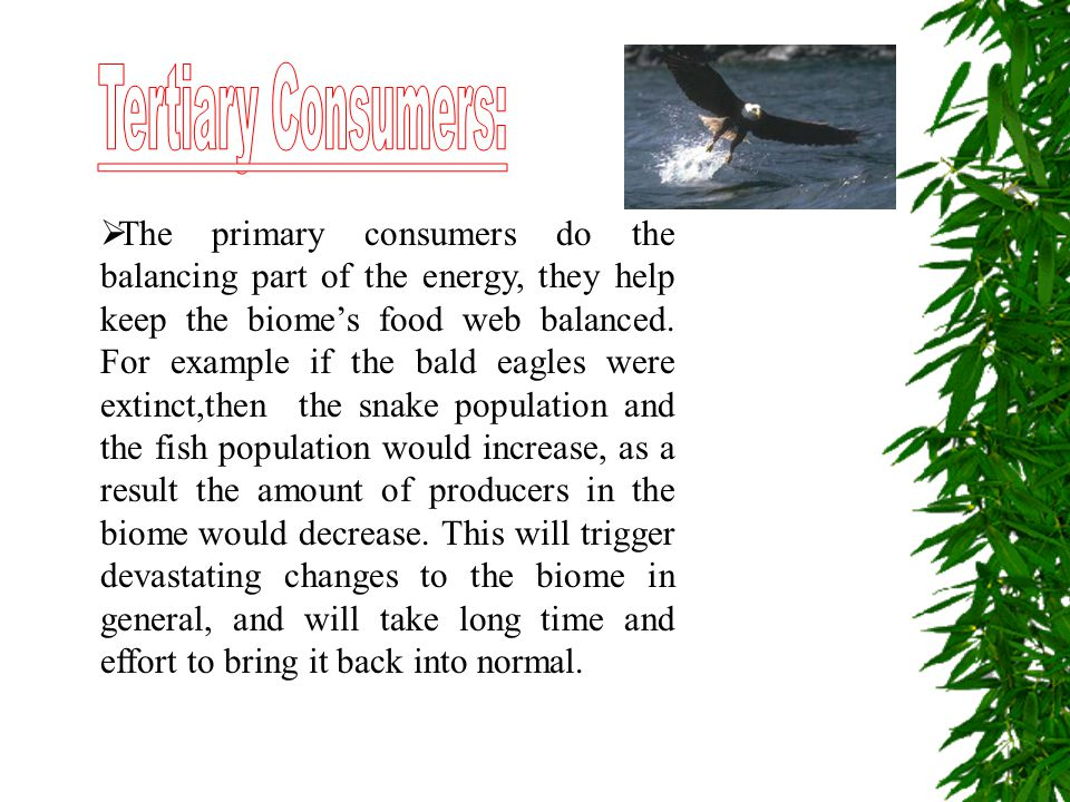  The primary consumers do the balancing part of the energy, they help keep the biome's food web balanced. For example if the bald eagles were extinct