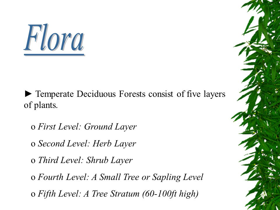 ► Temperate Deciduous Forests consist of five layers of plants. o First Level: Ground Layer o Second Level: Herb Layer o Third Level: Shrub Layer o Fo