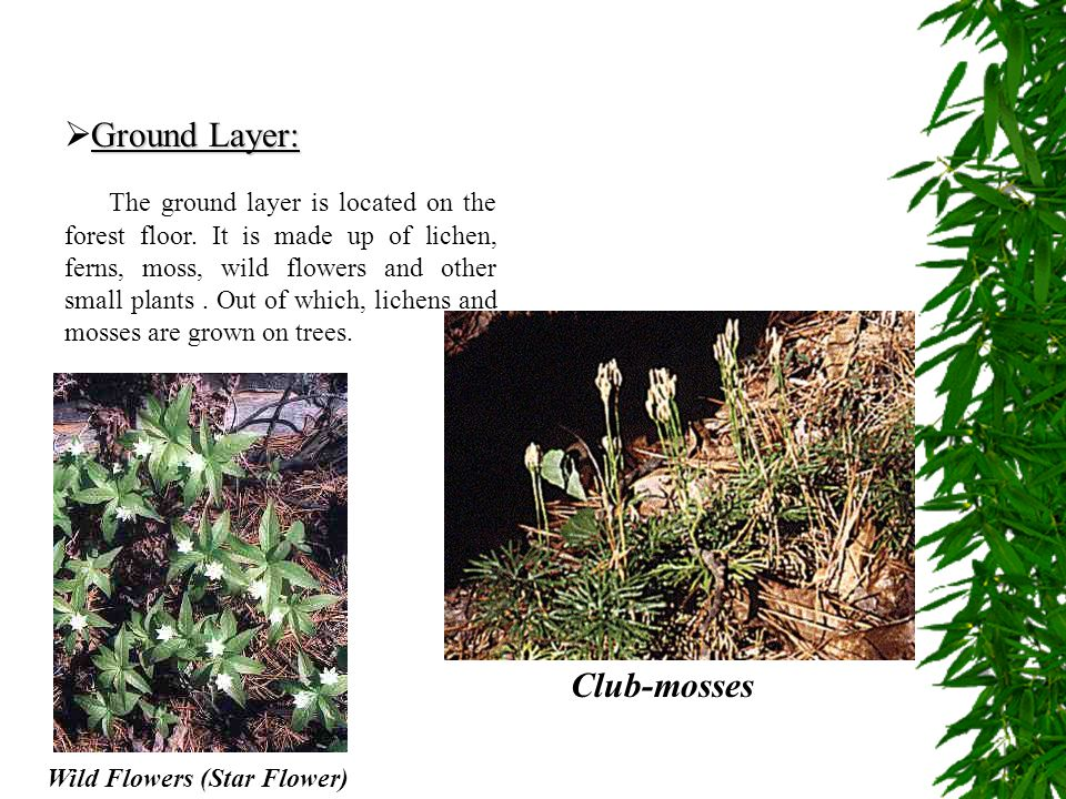 Ground Layer:  Ground Layer: The ground layer is located on the forest floor. It is made up of lichen, ferns, moss, wild flowers and other small plan