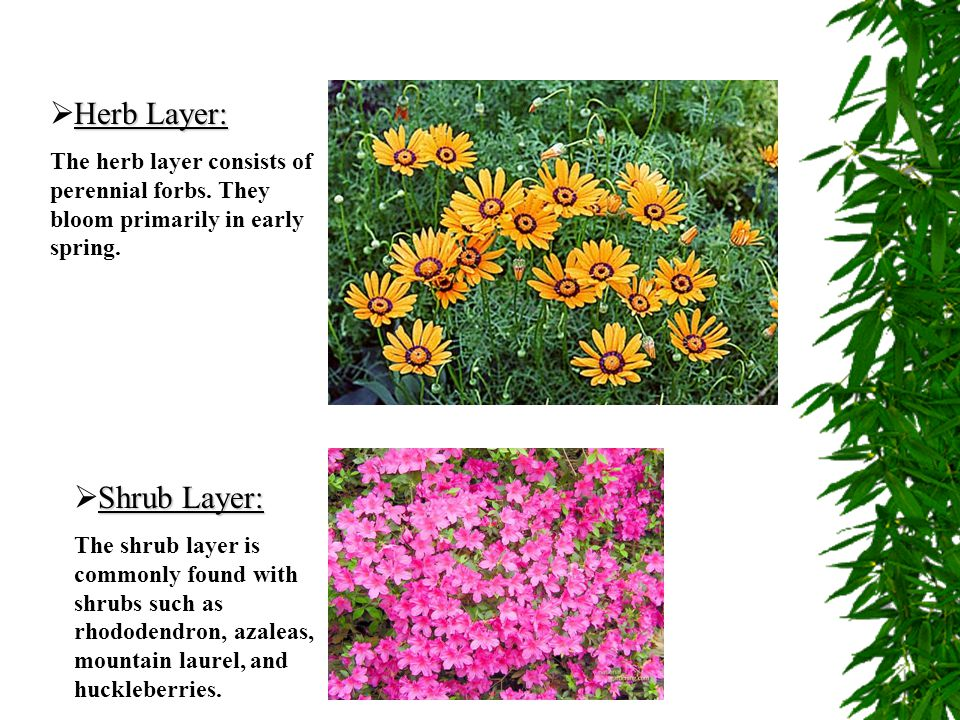 Herb Layer:  Herb Layer: The herb layer consists of perennial forbs. They bloom primarily in early spring. Shrub Layer:  Shrub Layer: The shrub laye