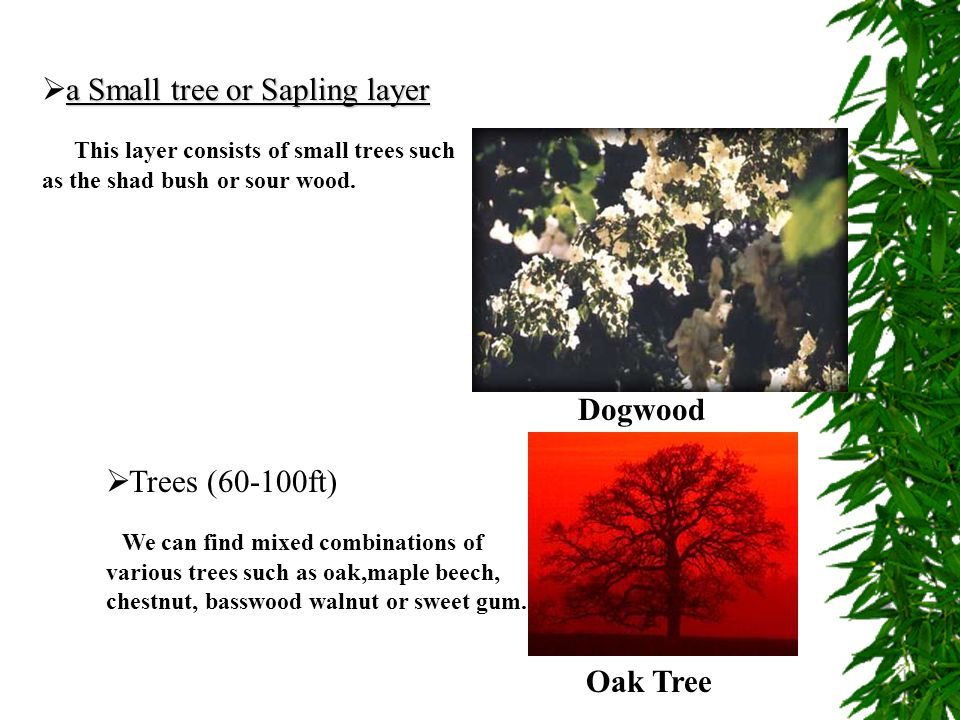 a Small tree or Sapling layer  a Small tree or Sapling layer This layer consists of small trees such as the shad bush or sour wood. Dogwood  Trees (